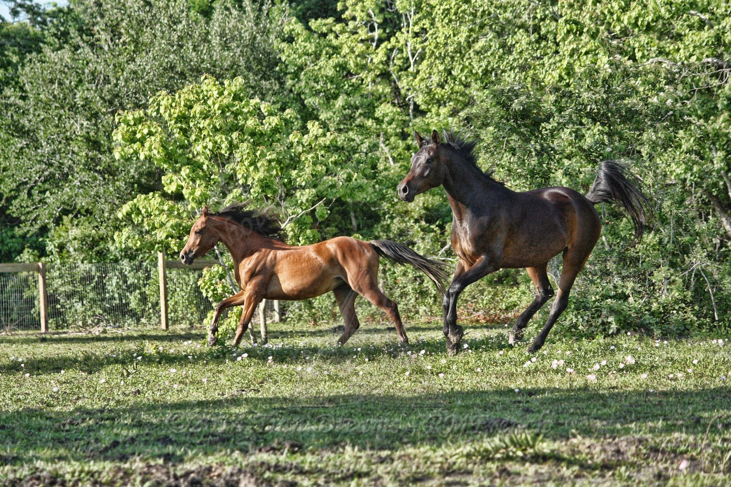 Julie's Arabians - At Julie's - Alvin, TX - May 12, 2013 - Prints now available!