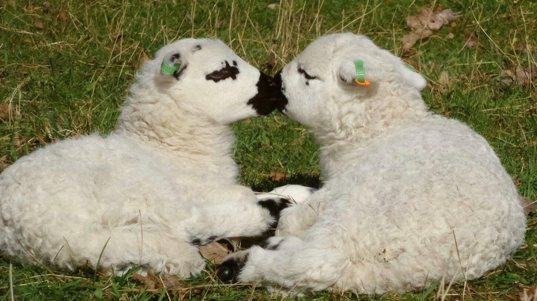 Lamb, Welsh Hill Speckled face.       Holland, Heemskerk 2017