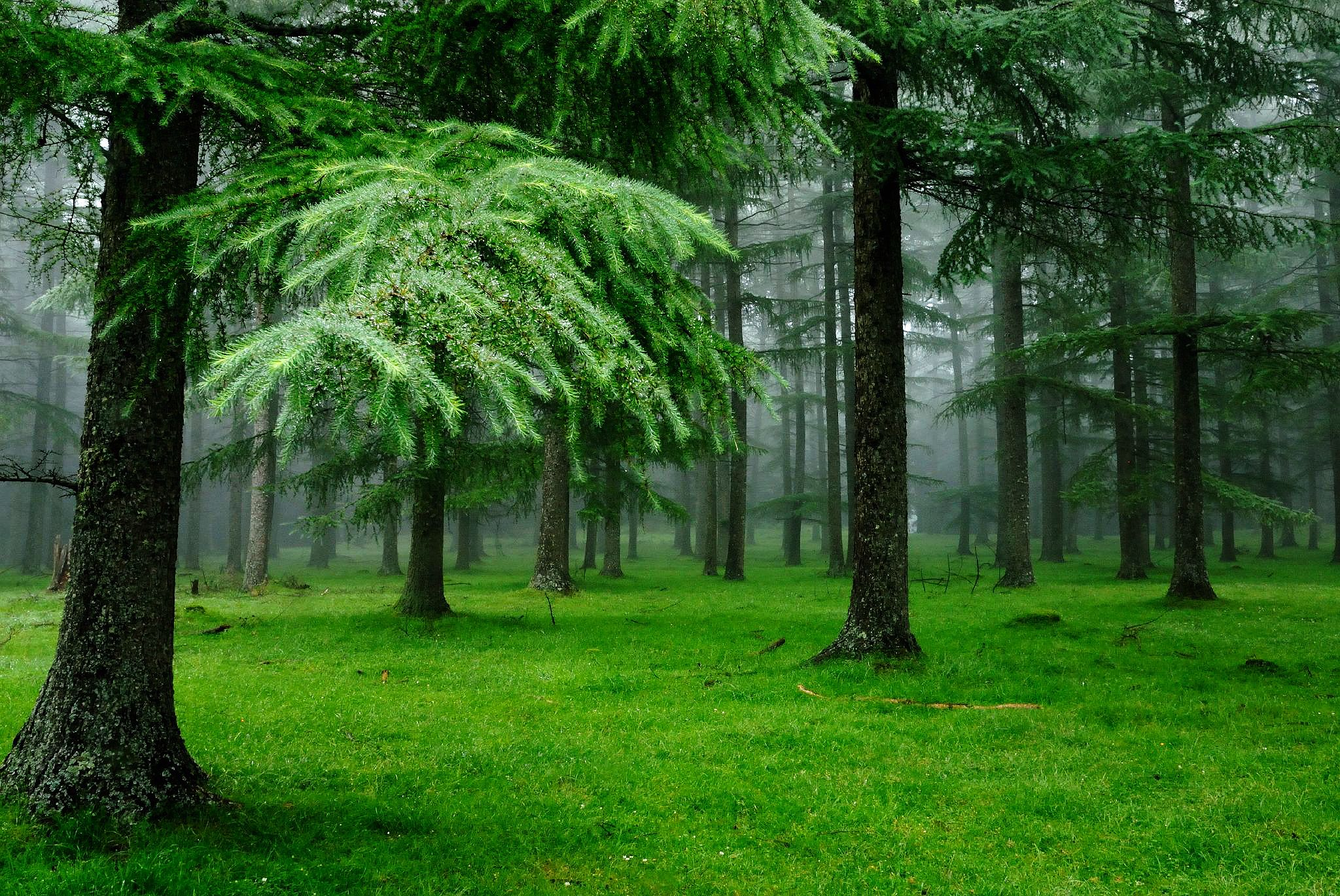 Spruce Trees Green Forest Natureza Nature Green Fotos