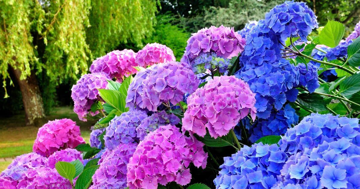 Hortensie   Pflanzen, Pflege Und Tipps