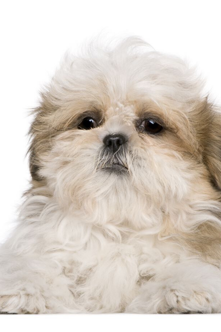 Shih Tzu Puppy 3 Months Old Lying In Front Of White Background Shihtzu In 2020 Shih Tzu Puppy Shih Tzu Puppies