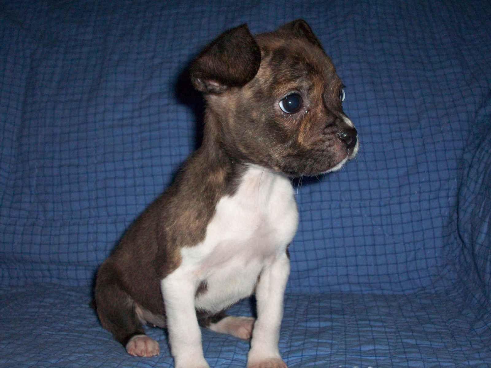 Its A Boogle A Mix Between Boston Terrior And A Beagle So Cute