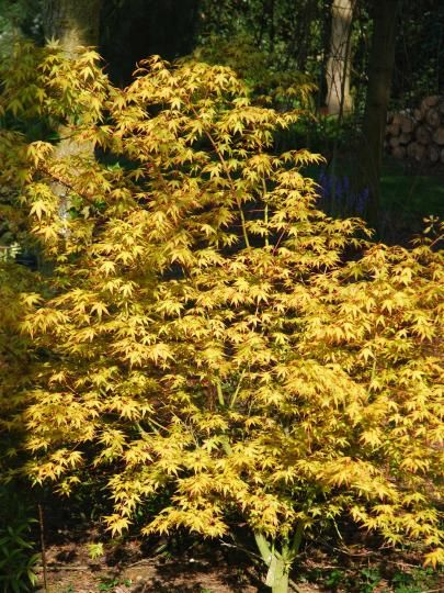 acer palmatum 39 katsura 39 japanese maple one of the best maples for foliage colour in spring. Black Bedroom Furniture Sets. Home Design Ideas