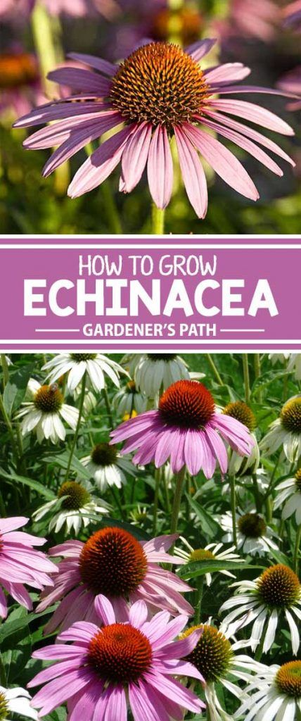 Guide To Growing Echinacea Or Coneflower Gardener S Path Echinacea Drought Tolerant Perennials Pollinator Garden