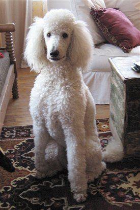Greta A Full Grown Standard Poodle We Call Her The Ambassador