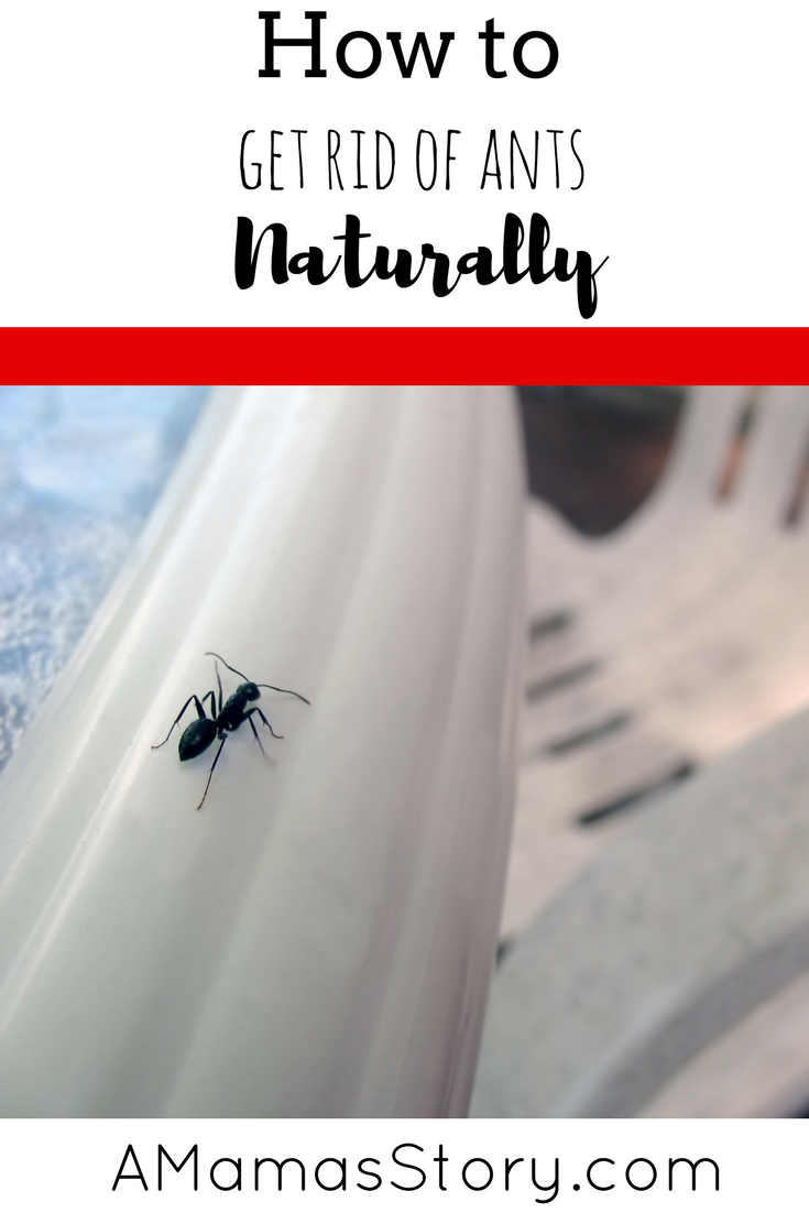 3 Ways To Get Rid Of Ants Naturally Rid Of Ants Get Rid Of Ants How To Get Rid