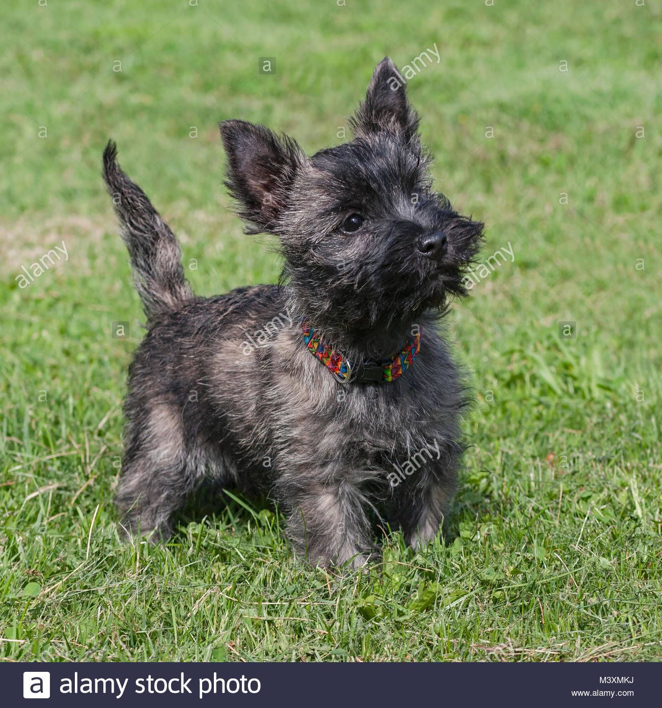 Download This Stock Image Brindle Colored Cairn Terrier Puppy