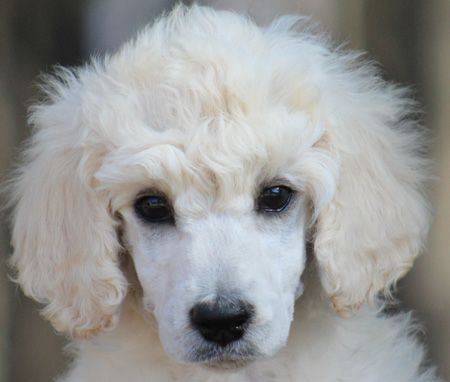 90 Helena S White Green Polish Female Standard Poodle Puppy