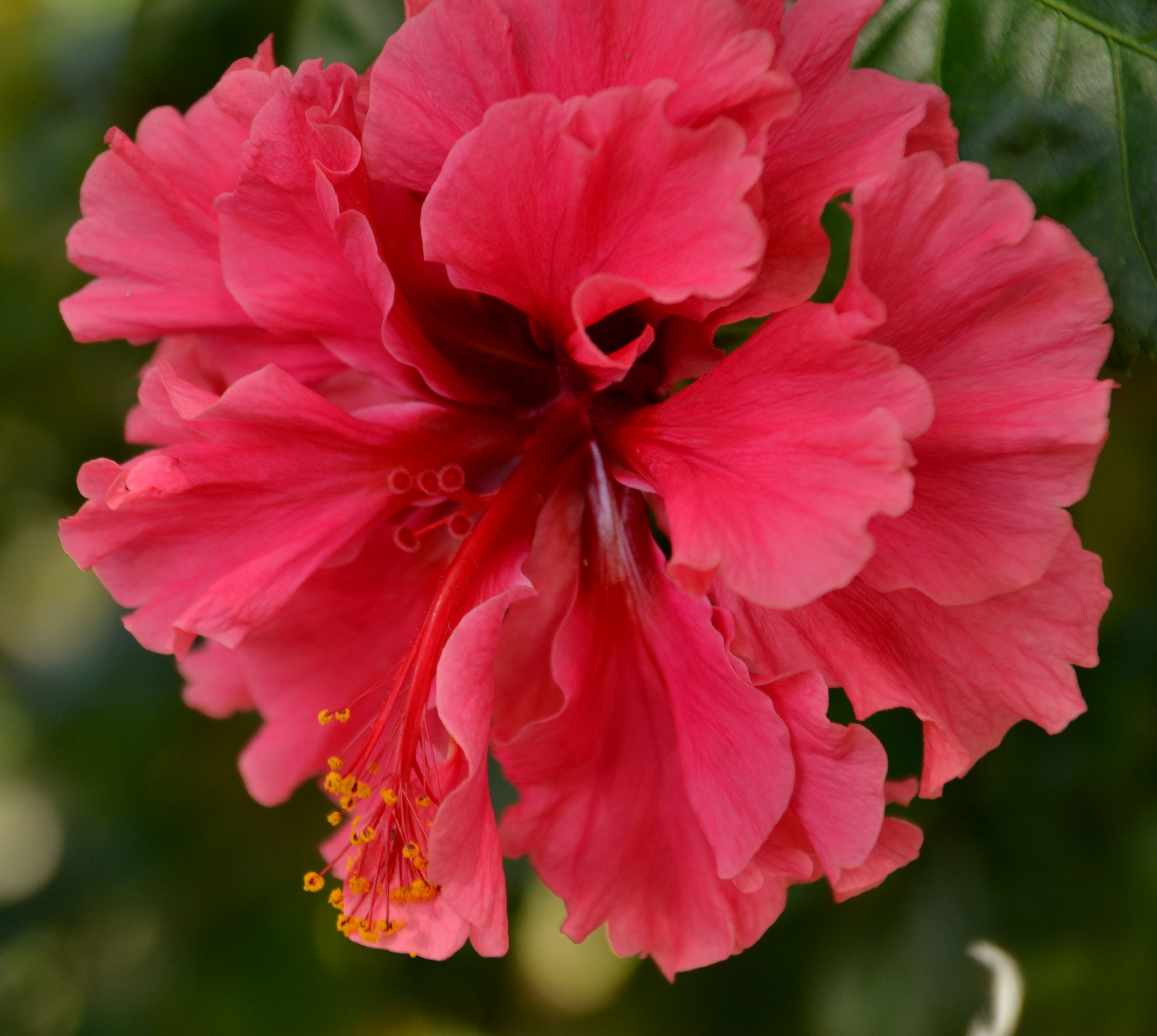 Hibiscus in bloom stuart florida flowers hibiscus bloom