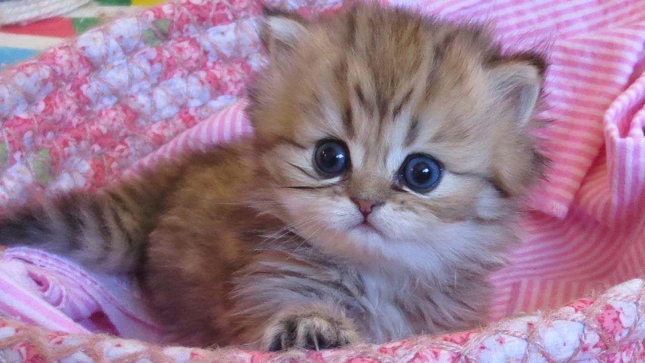 12 06 28 Persian Kittens Expanding Their World The K Litter Persian Kittens Kittens Cutest Kitten Care