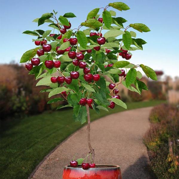 Rainier Cherry Fruit Seeds In 2021 Garden Plant Pots Dwarf Fruit Trees Growing Fruit Trees