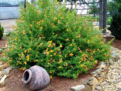 Miss Huff Hardy Lantana 1 Gallon Pot At 1697 Perennials For