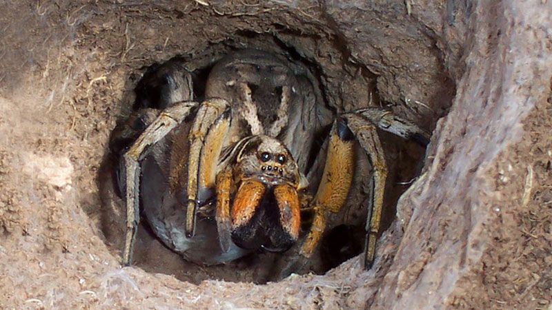 9 fascinating facts about wolf spiders 7 is surprising