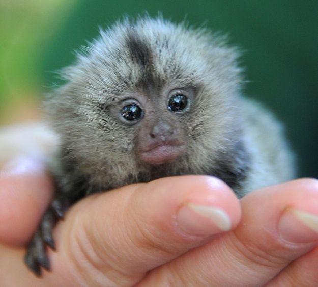 baby itty bitty monkey!!
