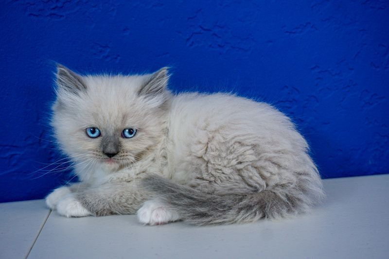 Ragdoll Kittens For Sale Near Me Ragdoll Kittens For Sale