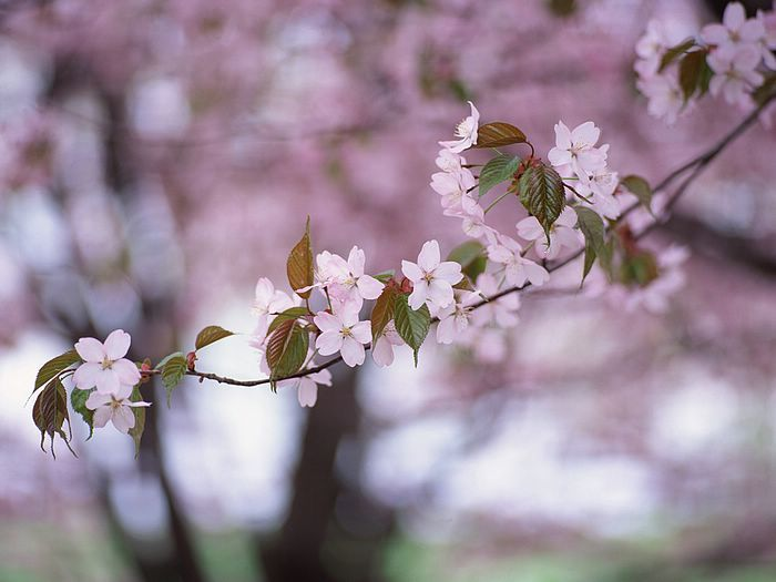 Flowery Tree Branches Cherry Blossom Viewing In April Flowering Branch Cherry Blossom Cherry Blossom Wallpaper Cherry Blossom Pictures Japanese Blossom