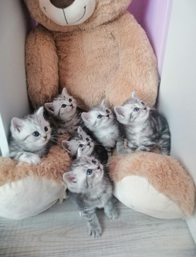 Brits Korthaar Kittens In 2020 Schattige Kittens Kittens Katten En Kittens