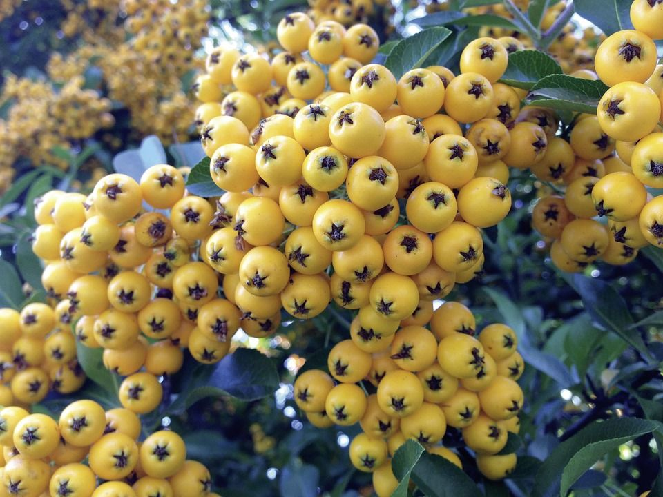 Free Image On Pixabay Rowan Yellow Pyracantha Fruit Juicing For Health How To Stay Healthy