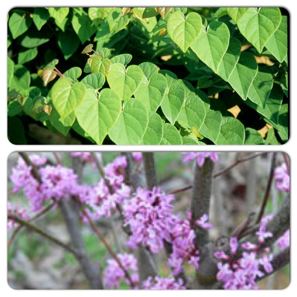 Shrubs with purple flowers at end of branch - Ace Of Hearts Redbud 3m High 3m Wide Native Shrub Or Small Tree