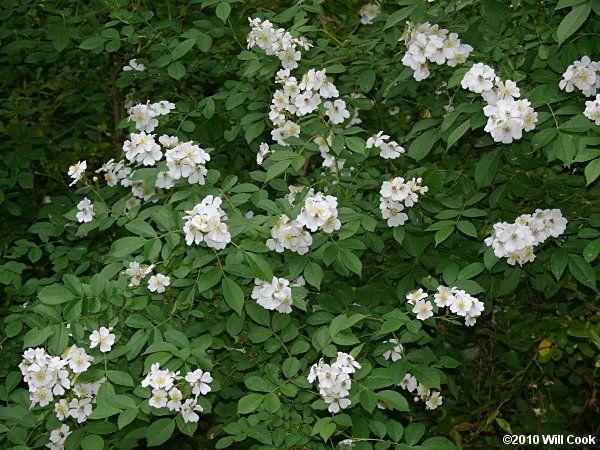 buske med små vita blommor