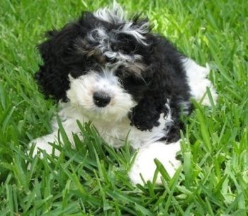 Madison Rumbaugh I Want It I Already Have Names Picked Out Cockapoo Dog Cockapoo Black Puppy