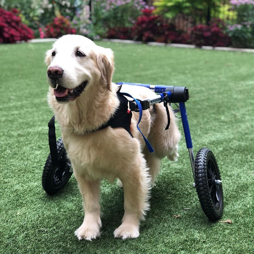 Walkin Wheels Large Dog Wheelchair For Dog Wheelchair Large