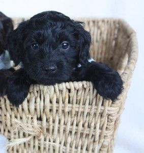 Puppies Ohio Valley Labradoodles Shipping Available Black