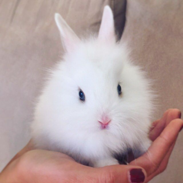 My beautiful white fluffy baby bunny rabbit. Netherland ...