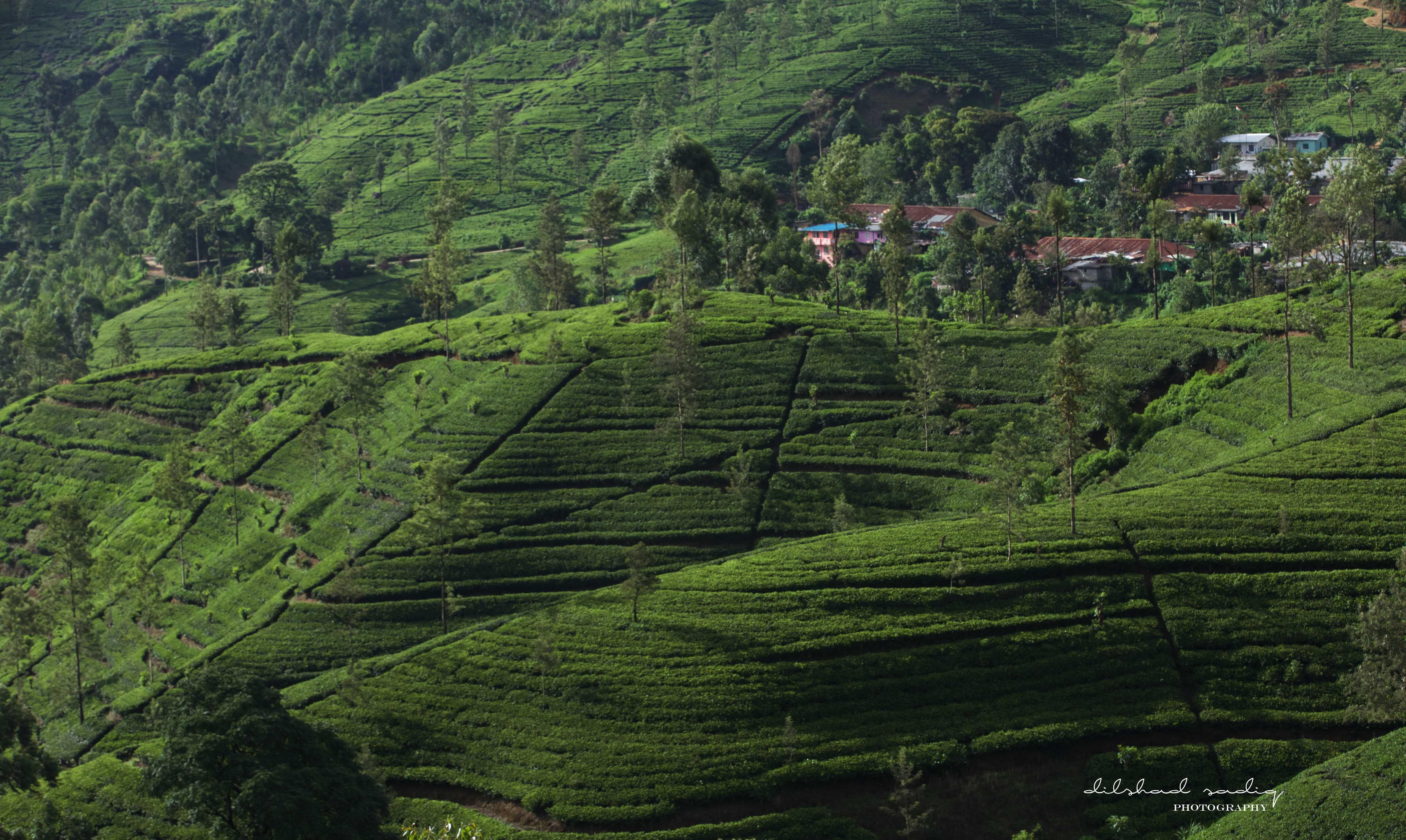 Pin On Ceylon Tea