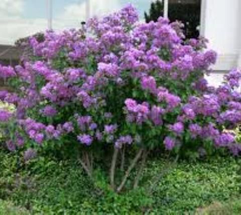 Centennial Dwarf Purple Crape Myrtle Crape Myrtle Front Yard Plants Myrtle Tree