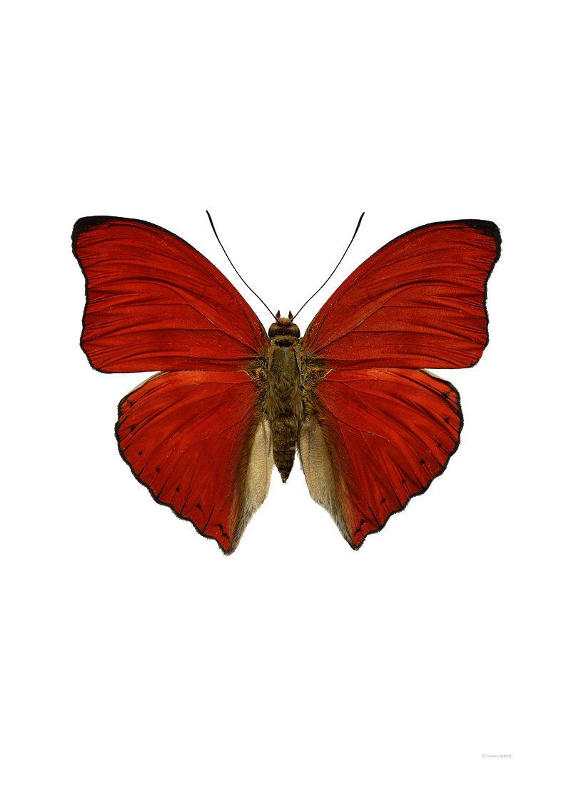 Cymothoe sangaris A | Бабочки | Pinterest | Mariposas, Deberes y Papel