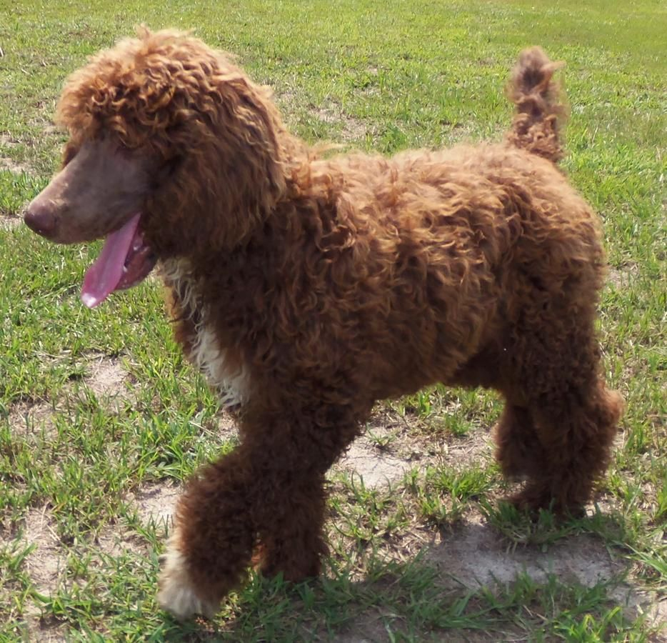 Akc Ckc Brown And White Royal Standard Female Poodle Puppy 3