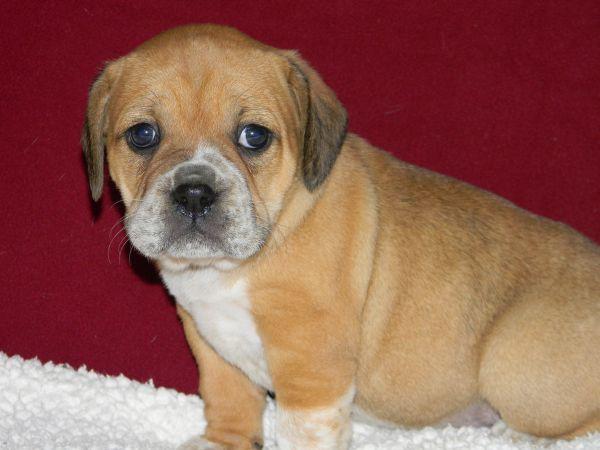 Beabull Puppies 1 2 English Bulldog 1 2 Mini Beagle South West Mo Near Branson Mini Beagle English Bulldog Beagle