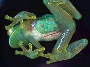 La grenouille de verre (forêts de l'Amérique du Sud) Par dessous, le cœur, le foie et divers autres organes internes des grenouilles de verre sont parfaitement visibles.