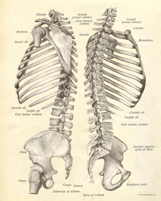 Rib Cage Anatomy | Anatomy | Pinterest | Rib cage, Anatomy and Art ...