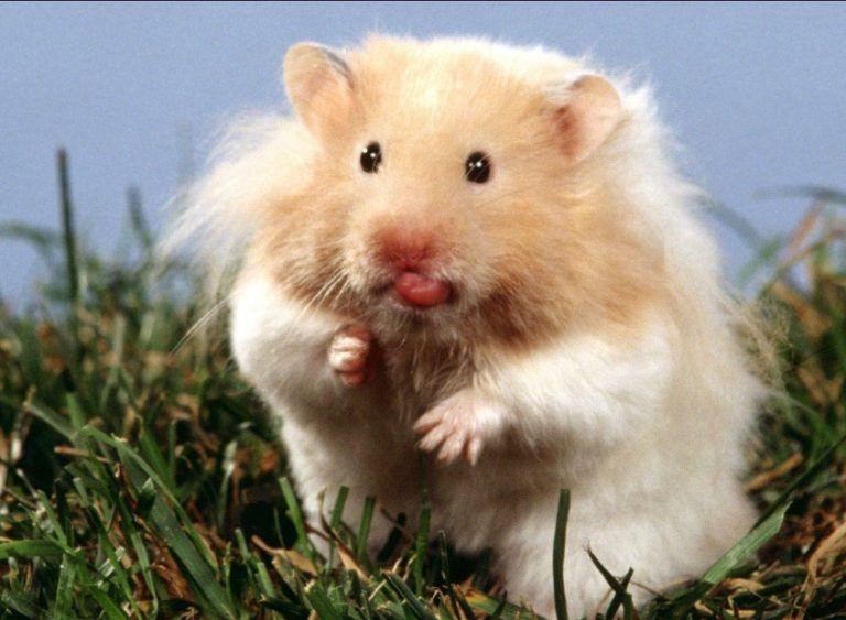 All About Syrian Teddy Bear Hamster Bear Hamster Animals