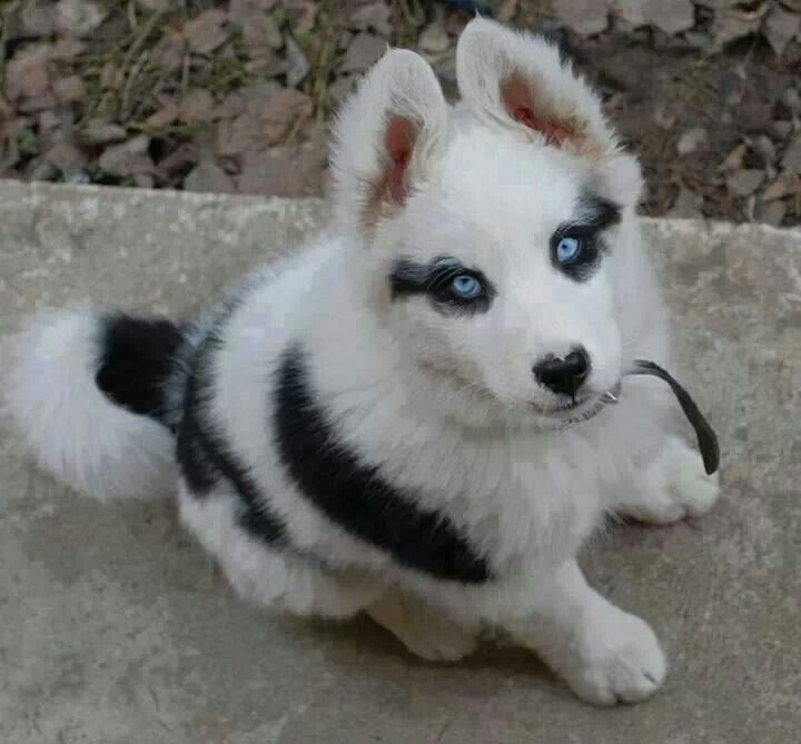 Husky Puppy Love The Eyeliner And Heart Nose Cute Animals