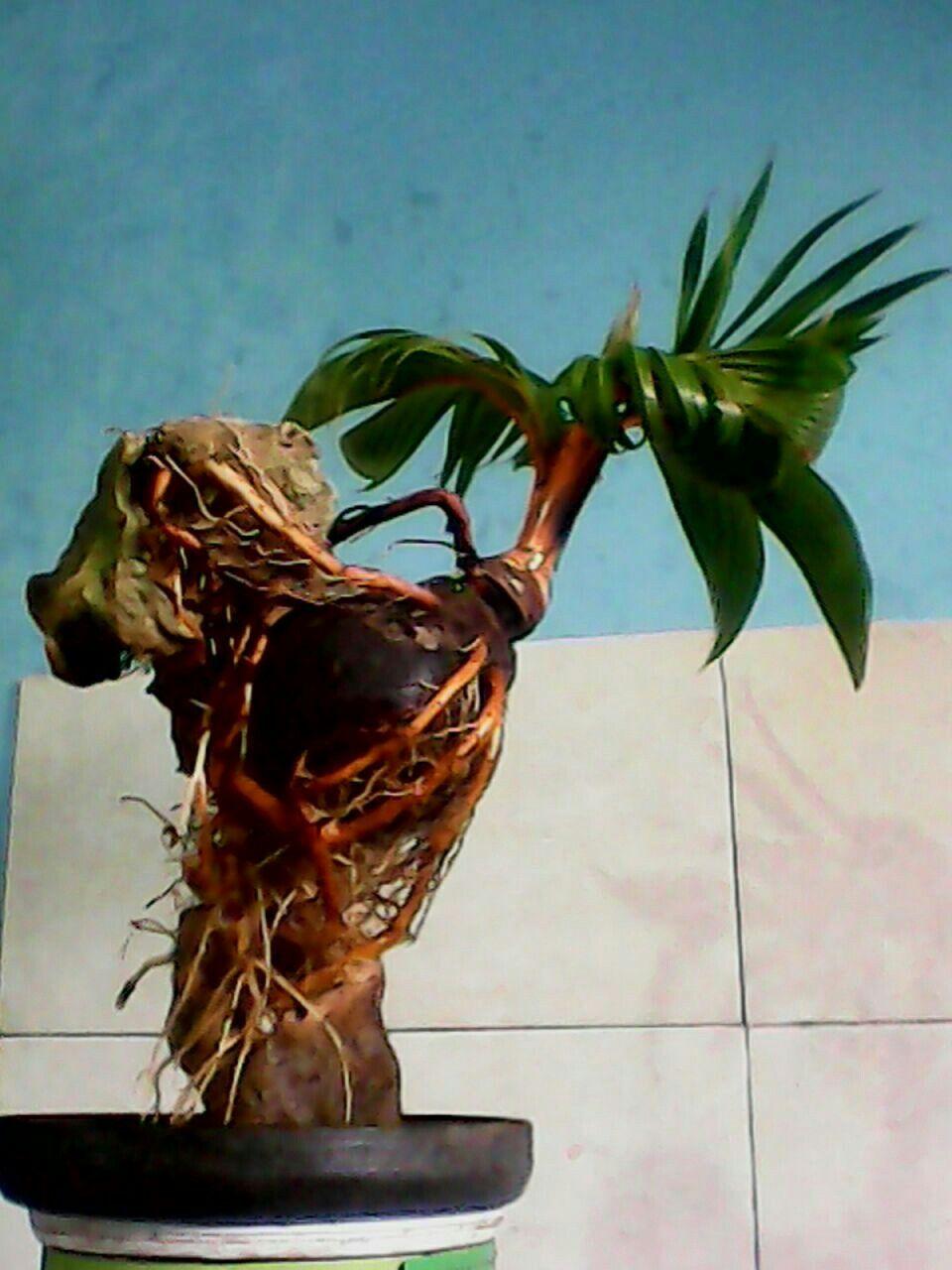 Indonesia Pohon Bonsai Bonsai Kebun Atap