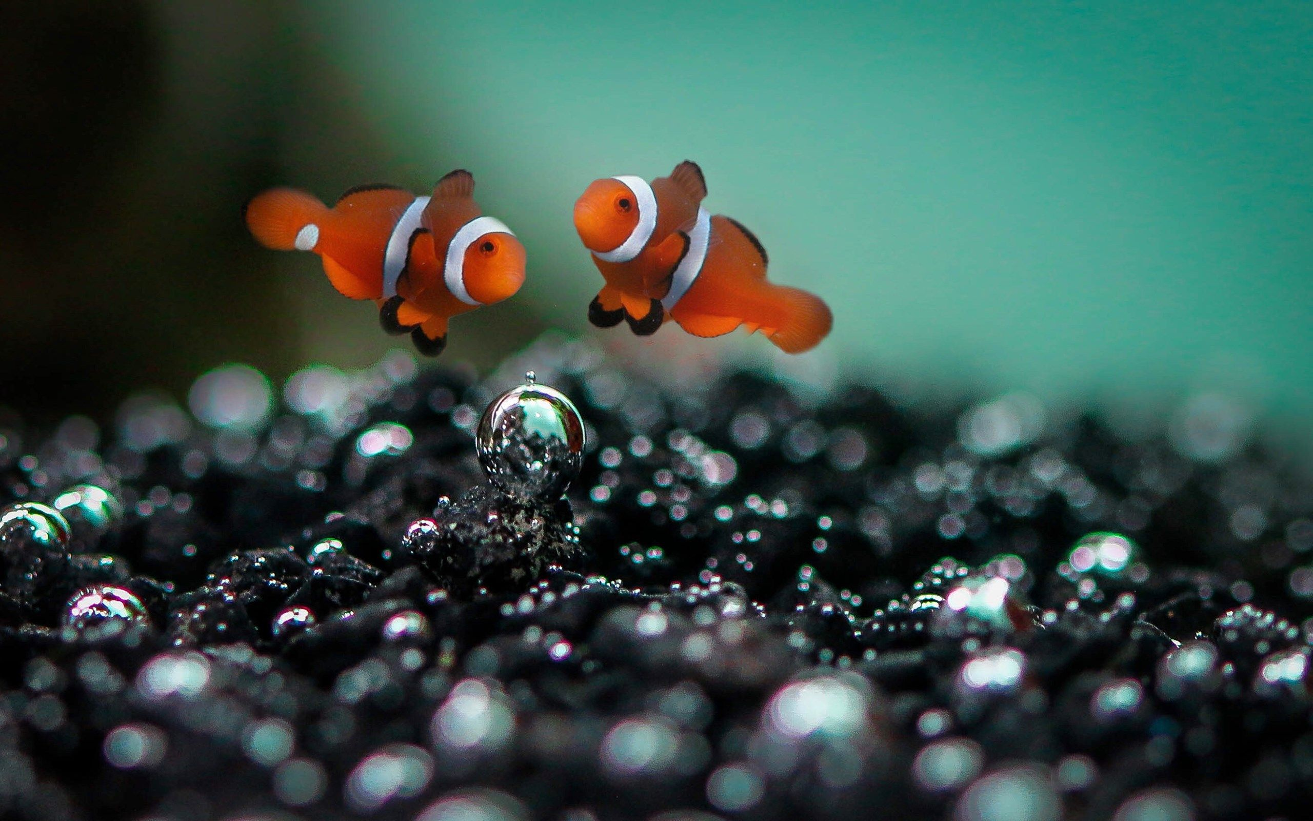 2560x1600 pictures of clownfish