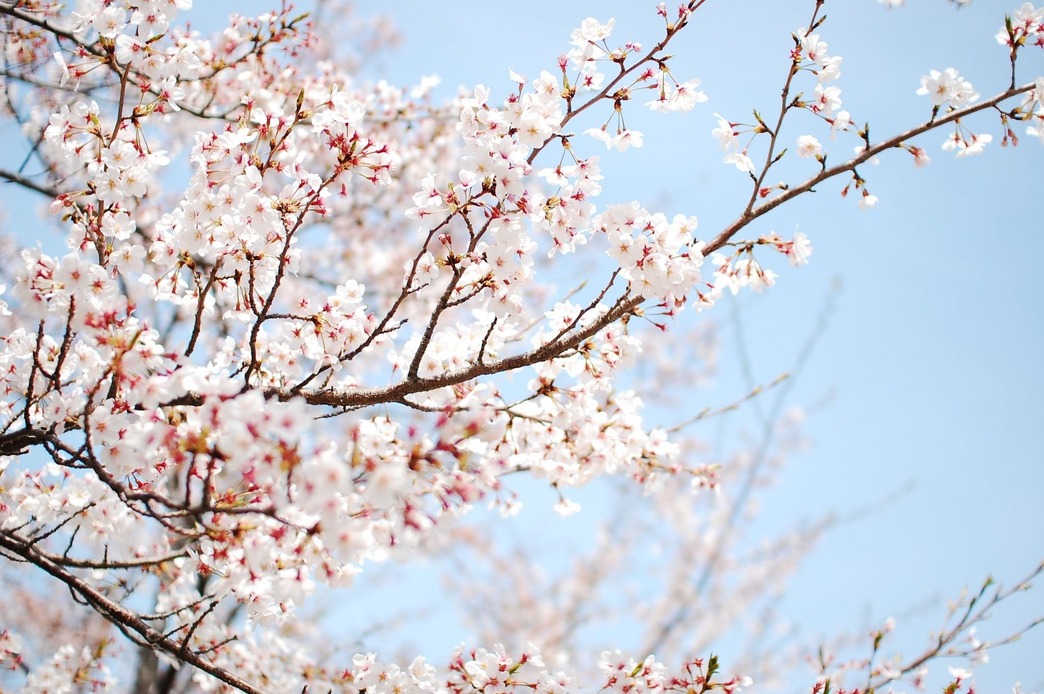 Cherry Blossom Hd Widescreen Wallpapers For Laptop Cherry Blossom Background Cherry Blossom Wallpaper Cherry Blossom Pictures