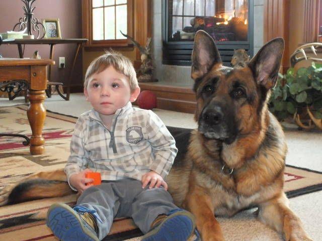 Stud Dogs Kolenda Kennels German Shepherd Breeders Stud Dog German Shepherd Puppies
