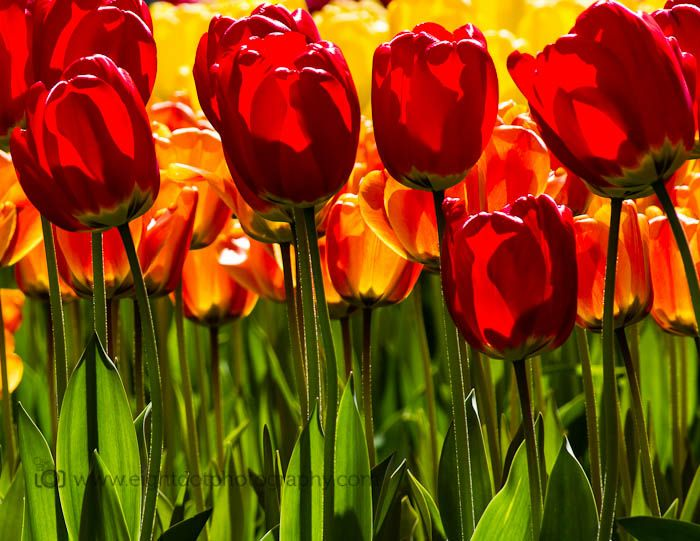 Turkey S National Flower The Tulip Is A Perennial Bulbous Plant With Showy Flowers In The Genus Tulipa Tulip Flo Bulbous Plants Showy Flowers Foliage Plants