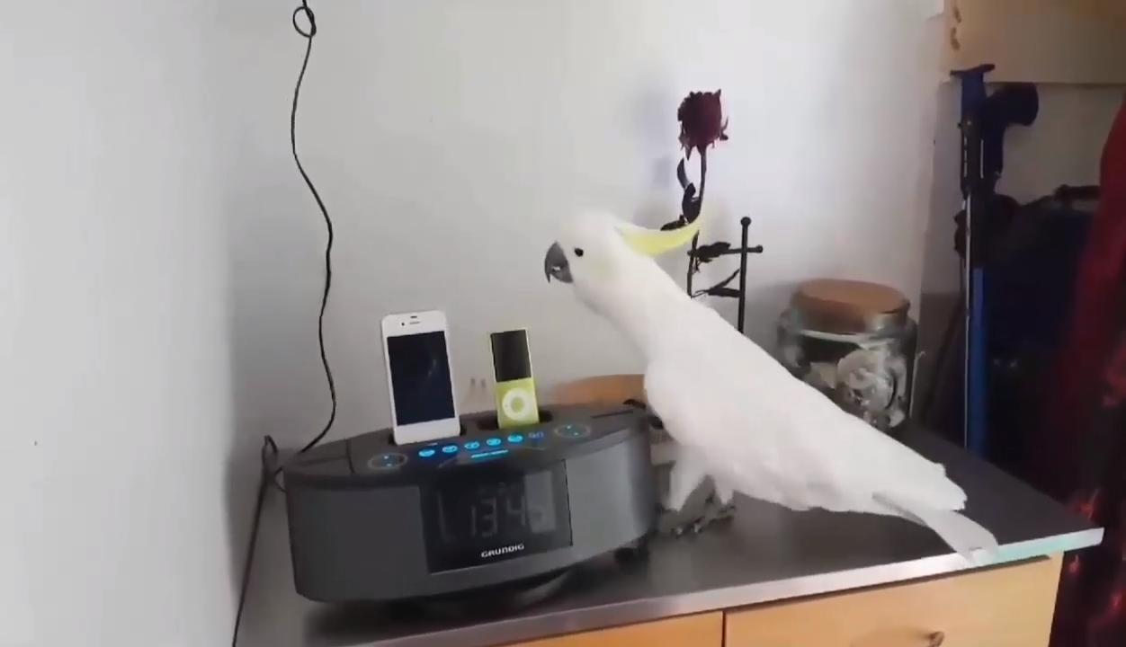 Best Funny Imagenes Wait for the drop   #parrot #bird #funny #animalforum #cute Wait for the drop   #parrot #bird #funny #animalforum #cute 9