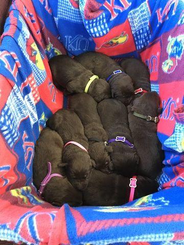 Litter Of 9 Labrador Retriever Puppies For Sale In Olathe Ks Adn
