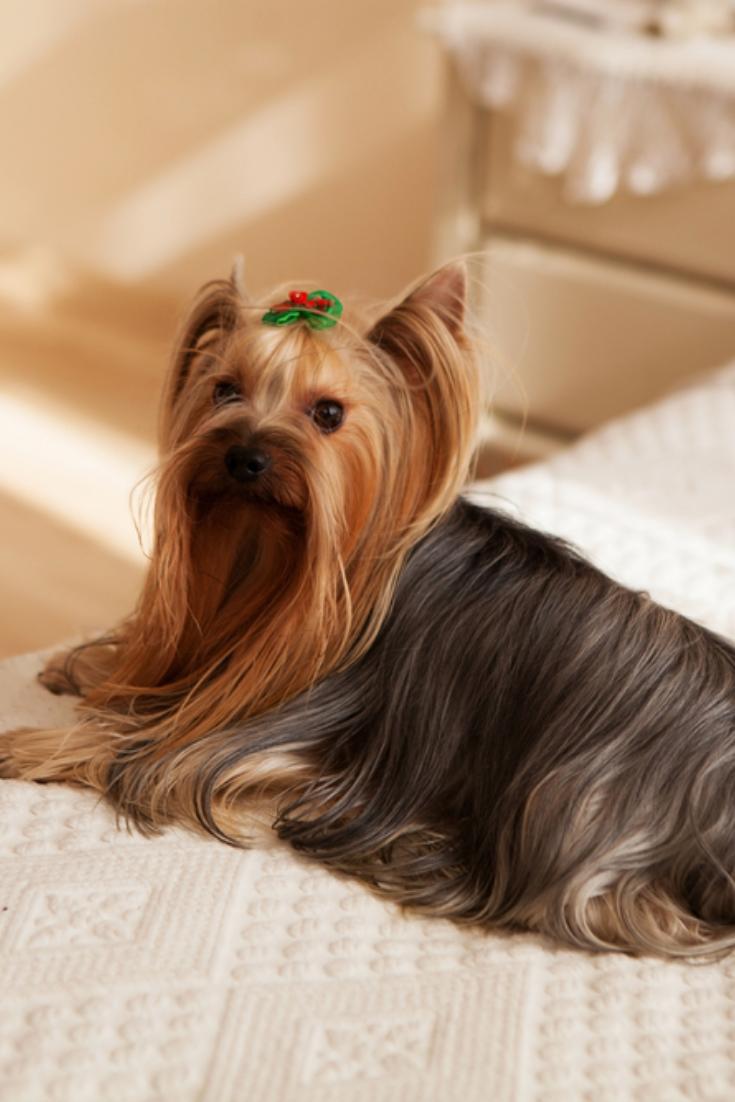 Yorkshire Terrier On Bed Yorkshireterrier In 2020 Yorkshire Terrier Puppies Yorkshire Terrier Terrier