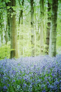 Bluebells, Wiltshire, England