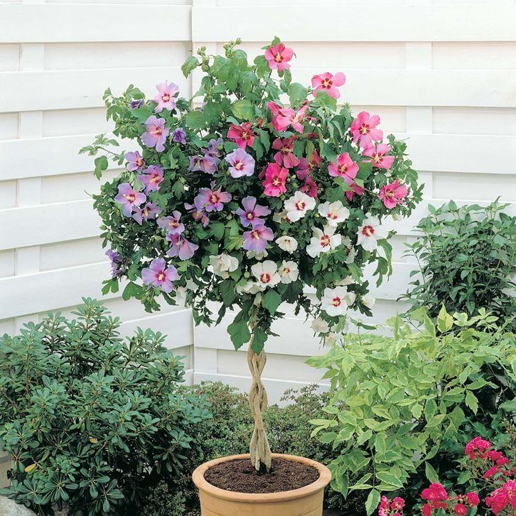 Pianta di ibiscus ad alberello giardino e orto pinterest piante da giardino vaso e piante - Piante sempreverdi da esterno ...