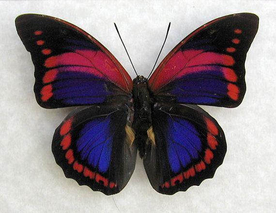 VARY RARE Prepona Praeneste Confusa Real by ButterfliesArtist, $74.99