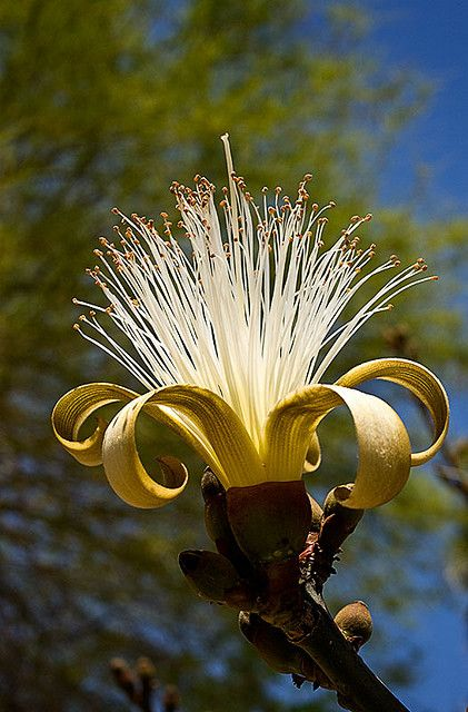 Pseudobombax Popularly Known As The Shaving Brush Tree In Bloom At South Coast Botanic Gardens Amazing Flowers Unusual Flowers Wonderful Flowers