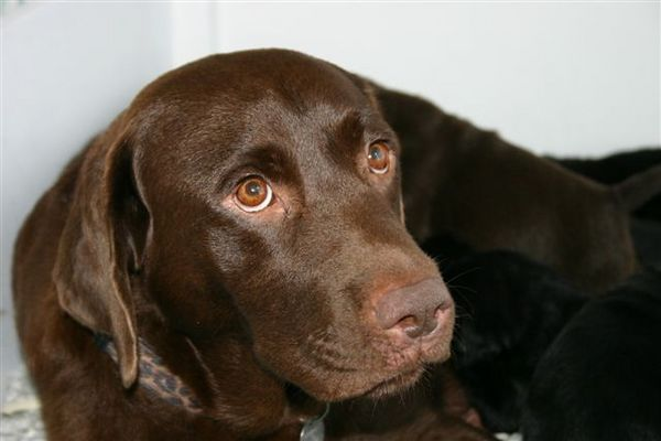 Chocolate Lab with Blue Eyes | But for pets, it's doesn't ...